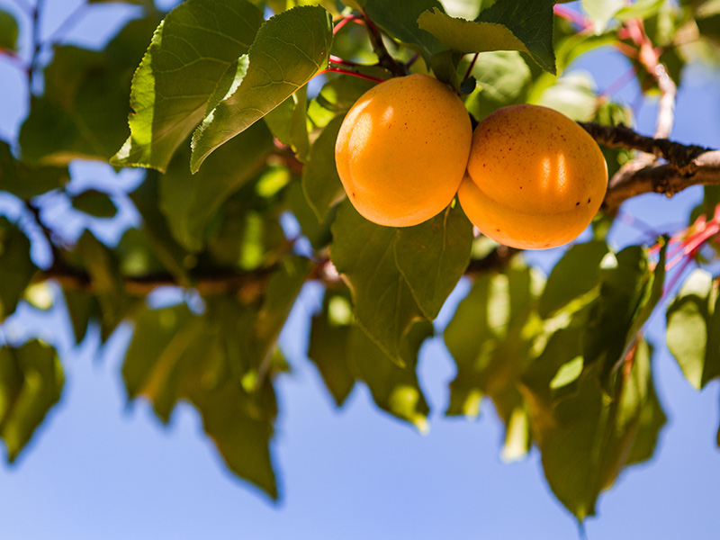 Get to know Porreres apricot